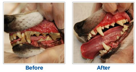 dental cleaning for dogs dental disease in dogs and cats oakland veterinary