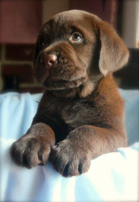 choclate lab puppy best 25 chocolate lab puppies ideas on lab