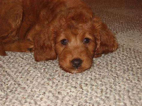 mini goldendoodle ottawa 25 best ideas about goldendoodle on