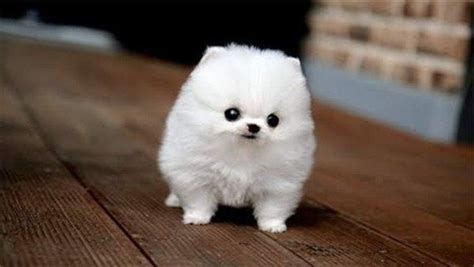small white fluffy terms small fluffy breeds white puppies with pictures litle pups