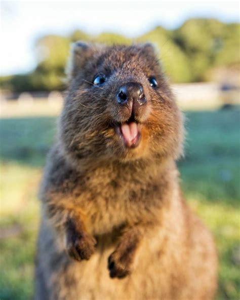 google images quokka 25 best ideas about quokka on pinterest quokka animal