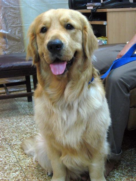 golden retriever puppies for sale in mumbai golden retriever puppies price in mumbai
