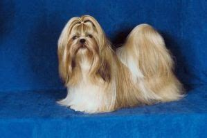 average size shih tzu the average size of a shih tzu ehow