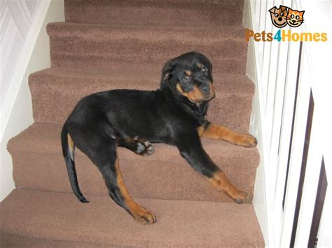 cheap rottweiler puppies rottweiler for sale cheap knottingley west pets4homes