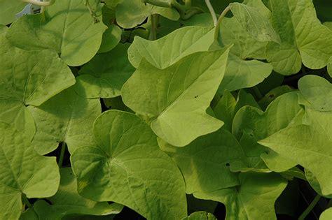 sweet georgia light green sweet potato vine ipomoea batatas sweet georgia light green in