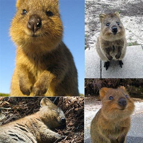 google images quokka what is a quokka most smiley marsupial on earth frame