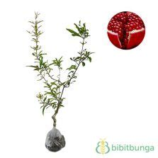 Tanaman Delima Ruby Biji Lunak tanaman delima merah pomegranate bibitbunga
