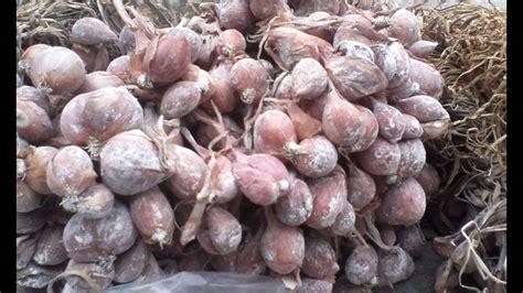 Benih Bawang Merah Nganjuk cara memilih benih bawang merah lokal 0838 4682 1900