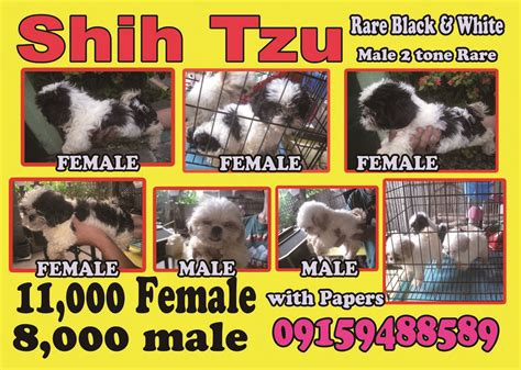 shih tzu poodle for sale philippines tiongson s ads from manila san juan philippines s adpost