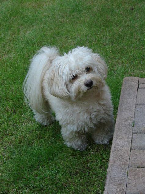 bichon havanese dogs bichon havanais fluffy 2 by gremlinztattoo deviantart