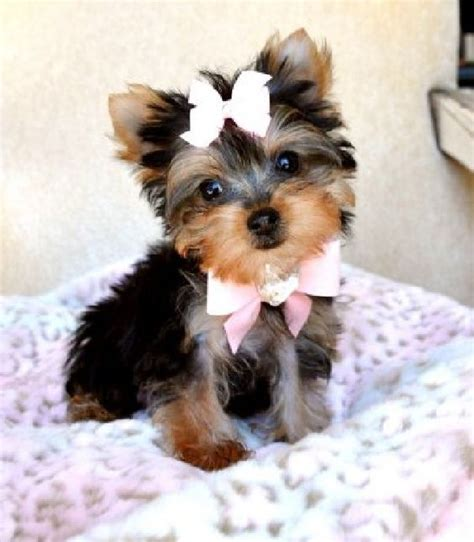 teacup yorkie breeders ontario free yorkie puppies teacup yorkie puppies for sale offer toronto mississauga