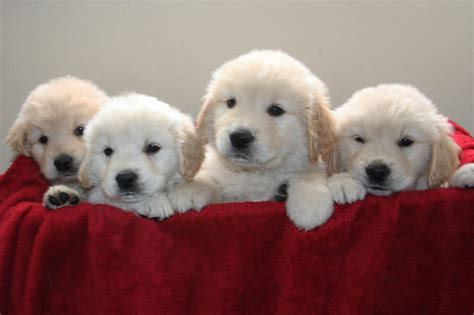golden retriever puppies missoula golden retriever puppies and dogs for sale in western montana