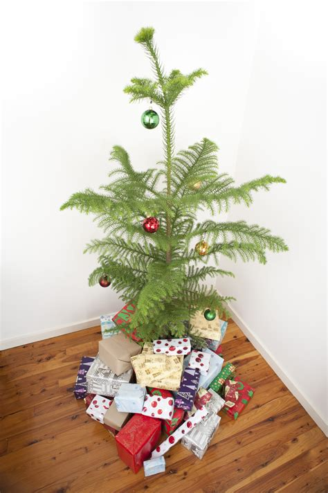 photo of norfolk island pine christmas tree free