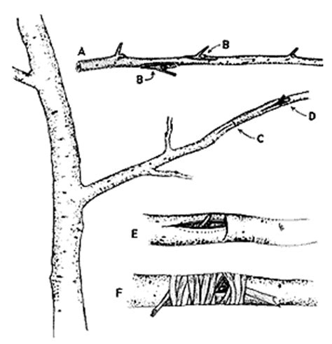 grafting and budding fruit trees grafting and budding fruit trees my best buys