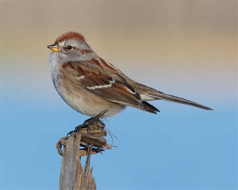 sparrow workshop with louis bevier york county audubon