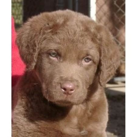 chesapeake bay retriever puppies for sale near me pomeranian husky puppies for sale in wisconsin hd breeds picture