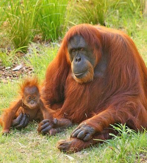 checking    perths baby orangutan zooborns