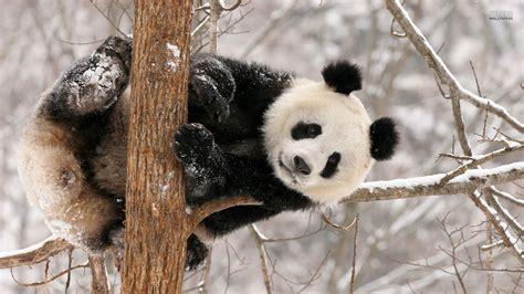 wallpaper android panda baby panda free download hd wallpapers 9409 amazing