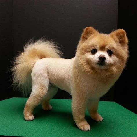 clipped pomeranian 25 best ideas about pomeranian haircut on haircuts grooming
