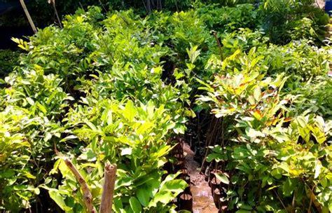 Bibit Rambutan Berbuah 7 langkah mudah cara sukses mencangkok pohon rambutan agar
