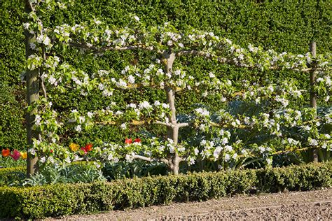 claire higgins trained fruit trees