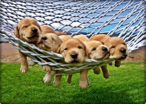 golden lab puppies 10 reasons why college students need a puppy college