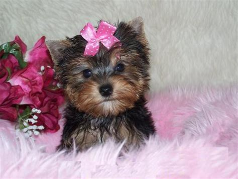 yorkie puppies for sale mobile al dogs and puppies for sale or adoption in mobile alabama breeds picture