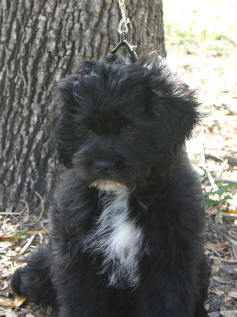 shih tzu x labrador kip the labrador shih tzu puppy s web page