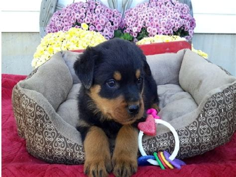 looking rottweiler looking rottweiler pups for sale offer