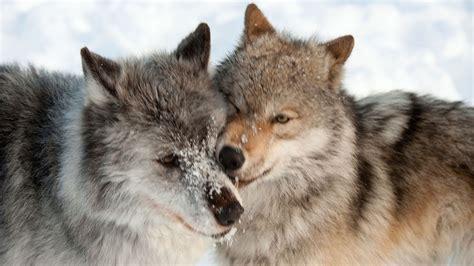 son los animales ms infieles a su pareja que nosotros taringa 10 animales fieles a su pareja hogarmania