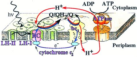 Light Harvesting Complex by Light Harvesting Complexes Hourlybook
