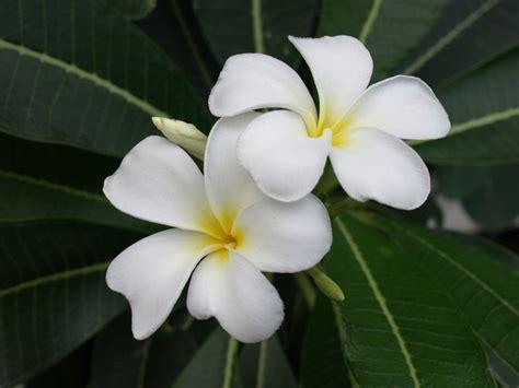 pomelia fiore pomelia piante da giardino frangipani