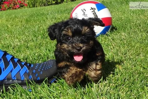 yorkie puppies for sale in san diego jeter yorkiepoo yorkie poo puppy for sale near san diego california 687cd925 aca1