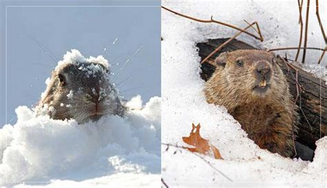 groundhog day 2018 all you need to about groundhog day 2018