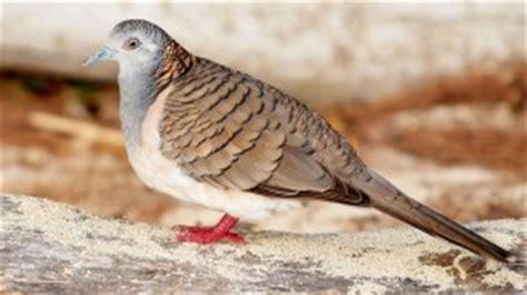Tempat Pakan Burung Perkutut perkutut australia rasa perkutut lokal hobi burung kicau
