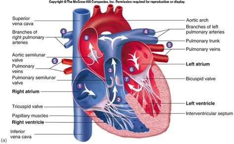 cardiac diagram circulatory system diagram anatomy human