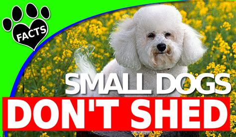 dogs that don t shed hair top dogs that dont shed hair 28 images top 10 dogs that dont shed hair 15 breeds