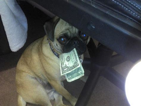 how can pugs live 19 reasons pugs are actually the worst dogs to live with