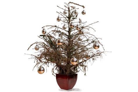 christmas tree disasters big bushy bottoms and spindly branches how to make sure you avoid a tree disaster