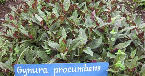 Sambang Darah Tanaman Hias budidaya tanaman sambung nyawa tanaman hias dan permasalahannya