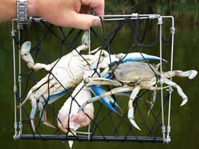 crab and lobster catchers for crabbing not crab traps