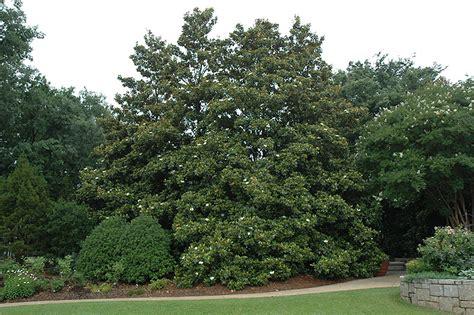Magnolia Garden Nursery by Edith Bogue Magnolia Magnolia Grandiflora Edith Bogue