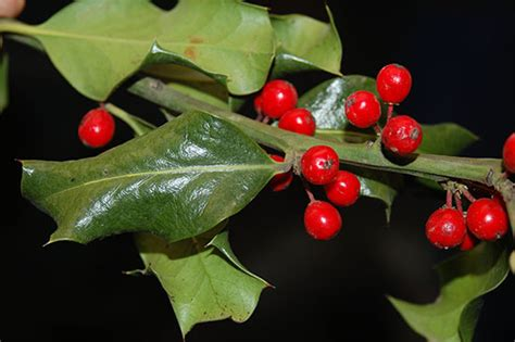 what color are mistletoe berries related keywords suggestions for mistletoe berries