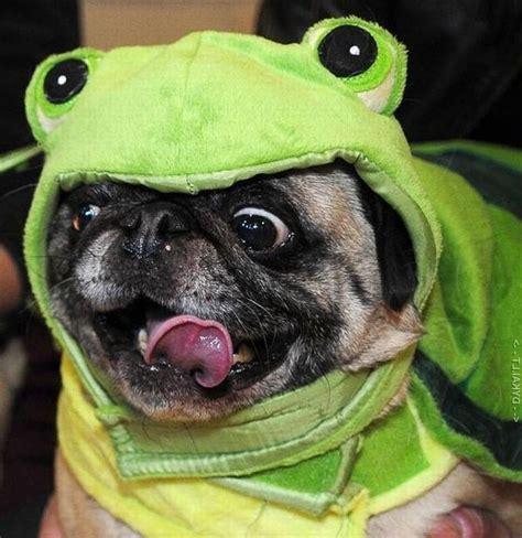 sneezing pug английский мопс фото