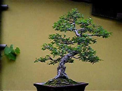 Bakalan Bonsai Ulmus Grouping bonsai ulmus sp www ppbi cabang tasikmalaya