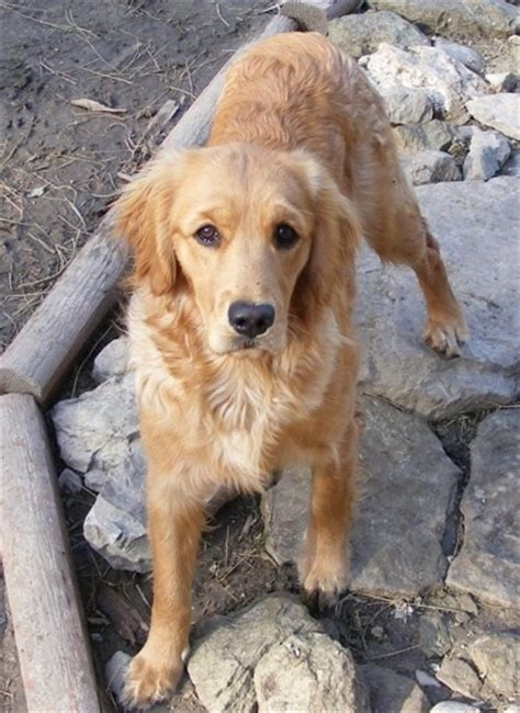 is there a miniature golden retriever miniature golden retriever breed information and pictures