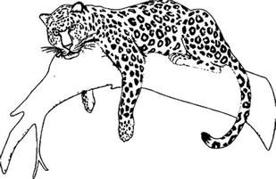 What Color Are Jaguars Jaguar Coloring Pages Bulk Color