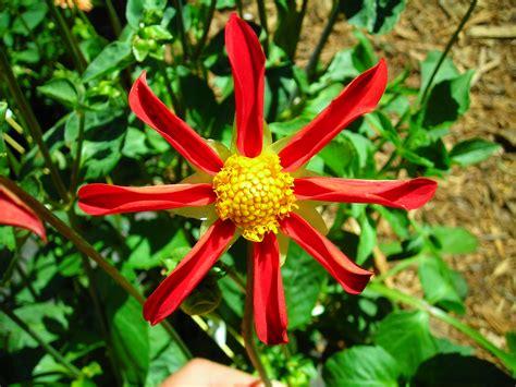 supplemental k 1 index of dahlia genetics supplemental full size