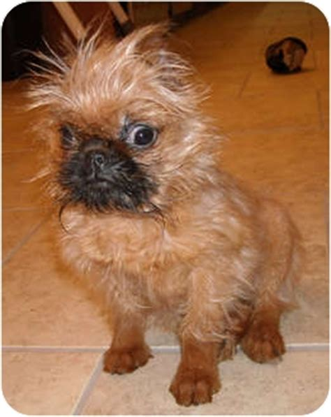 brussels griffon puppies for adoption brussels griffon puppies adopt a brussels griffon breeds picture
