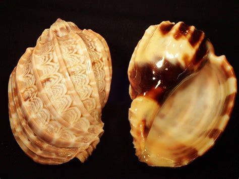 african harp sea shells shells sea snail